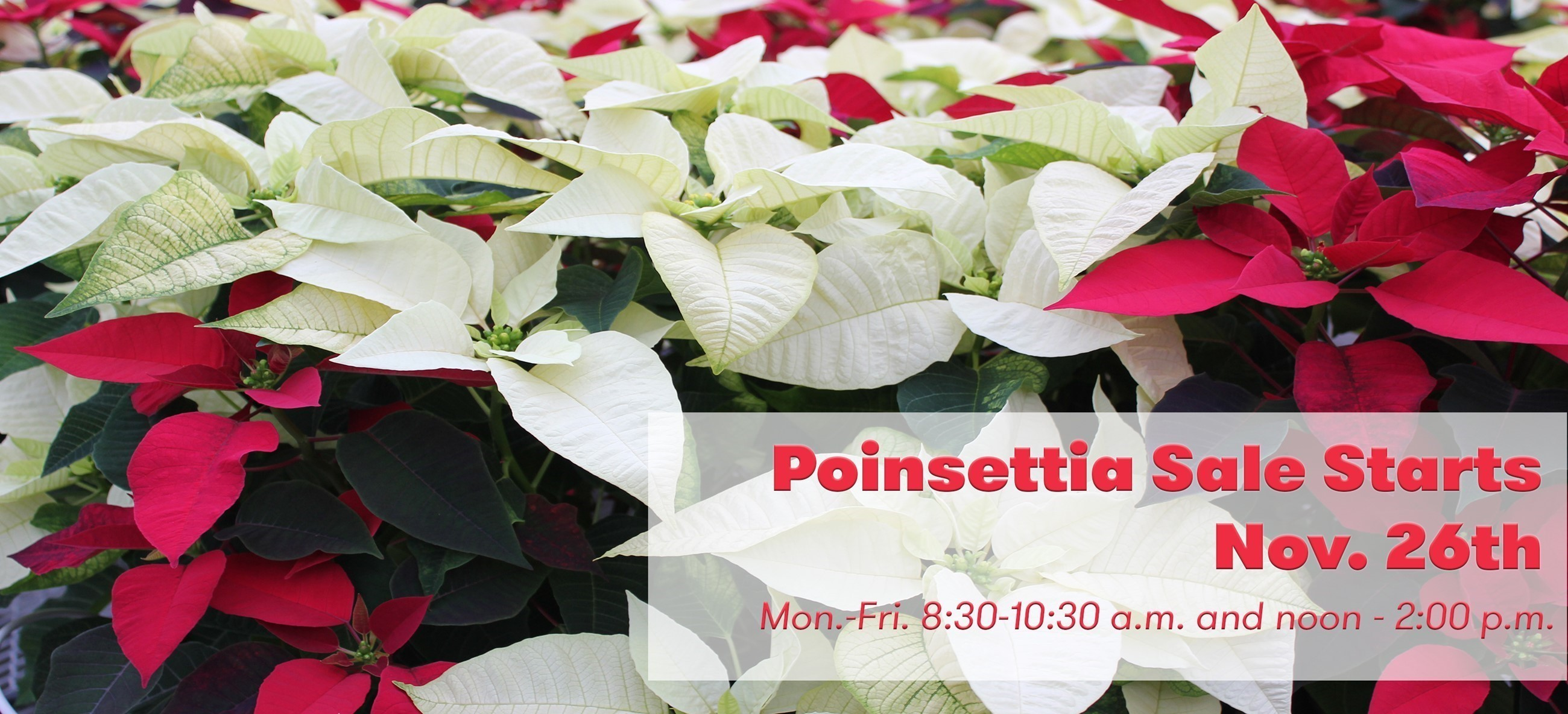 Poinsettia Sale Starts Nov. 26