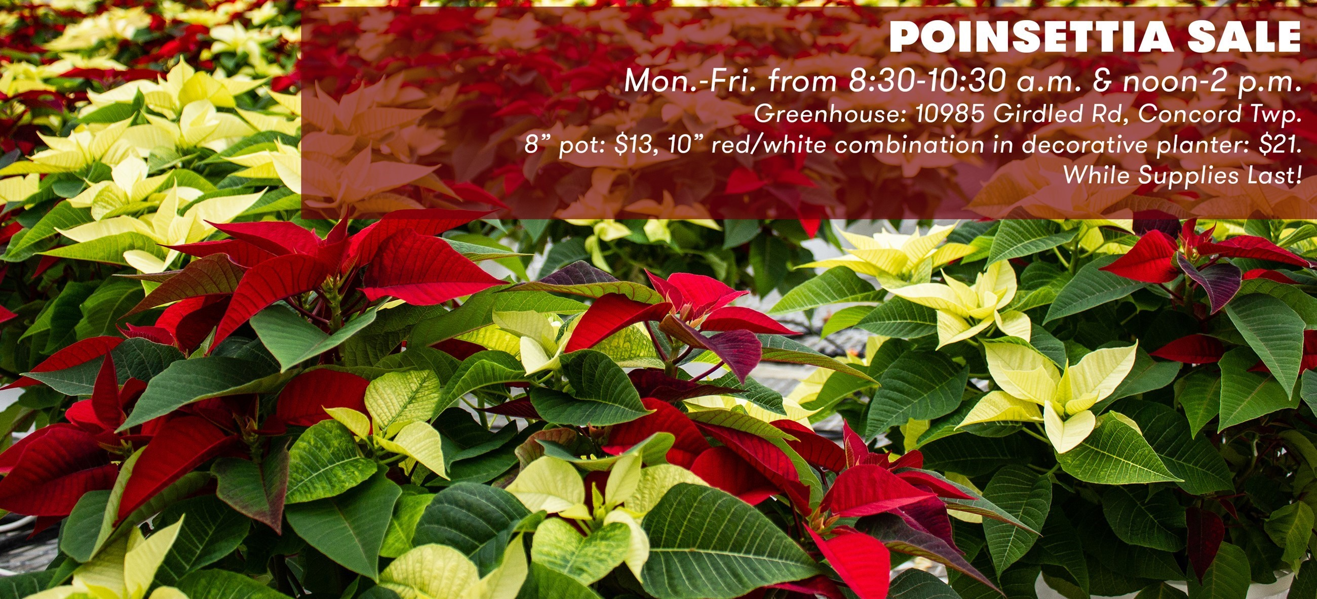 Poinsettias in red and white